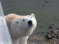 Polar bear next to the tundra buggy
