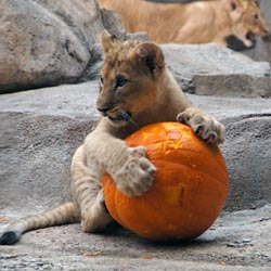 African lion cub playing with pumpkin