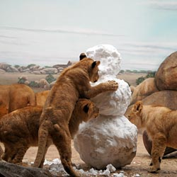 African lion cubs playing with snowman