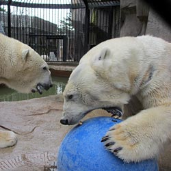 Polar bears playing with a ball