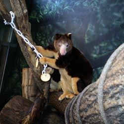 Matschie's tree kangaroo reaching for produce on a chain