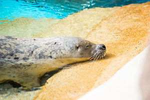 Ringo, a 38-year-old harbor seal