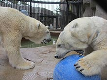 Polar bear enrichment