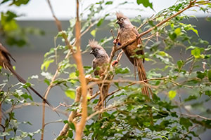 Speckled mousebird fledglings