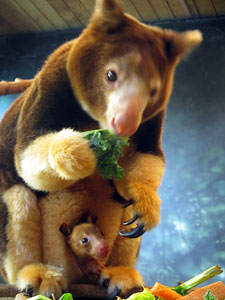 Tree kangaroo, Kiama, and her joey