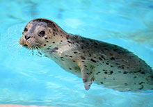 Harbor seal Siku