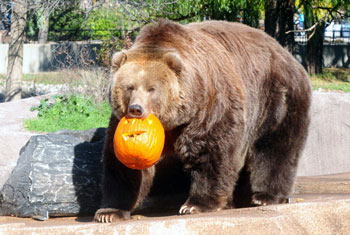 Bear playing with pumpkin
