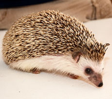 African hedgehog