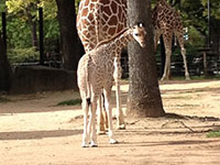 Giraffe Woodlands