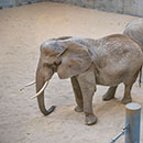 African elephant Ruth in the Elephant Care Center – Recreation Room