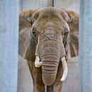 African elephant Brittany in Elephant Care Center