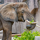African elephant eating (former outdoor Elephant Exhibit)