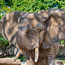 African elephant, Brittany (former Elephant Exhibit)