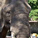 African elephant Brittany (former outdoor Elephant Exhibit)