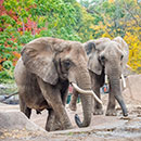 African elephants, Ruth and Brittany (former outdoor Elephant Exhibit)