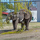 Elephants Ruth and Brittany in New Outdoor Habitat