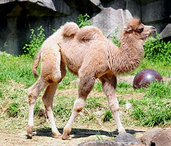 Baby Camel born May 4