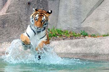 Amur tiger splashing in water