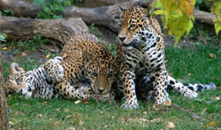 Stella with her cubs, B'alam and Zean