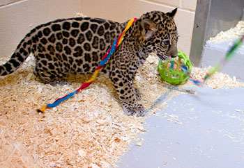 Jaguar cub playing with rope