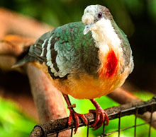 Luzon bleeding-heart dove