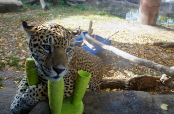 Jaguar enrichment