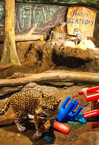 Happy Birthday To Our Jaguar Cubs Milwaukee County Zoo
