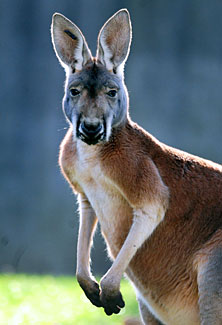 Willeroo, our new red kangaroo