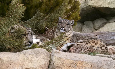 Genghis the snow leopard