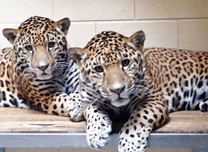 Jaguar cubs, B'alam and Zean