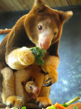 Matschie's tree kangaroo, Kiama, and her joey