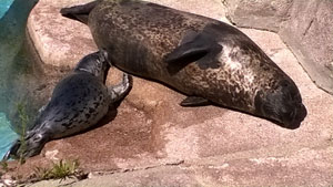 Harbor seal pup and mother