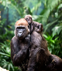 Western lowland gorilla Shalia with her infant, Sulaiman