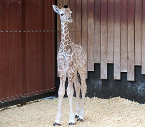 Reticulated giraffe calf