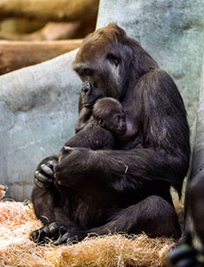 Western lowland gorilla, Shalia, and her first offspring