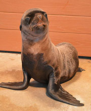 Sea lion pup, Zeus