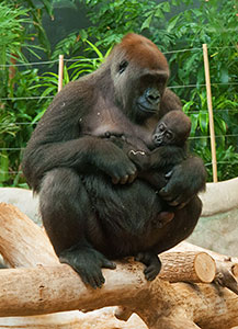 Western lowland gorillas, Shalia and Sulaiman