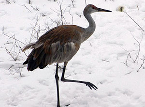 Sandhill crane Holly