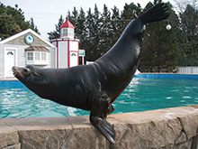 Sea Lion Slick