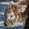 Keira, a Scottish Highland calf