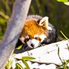 Red panda Dr. Erin Curry