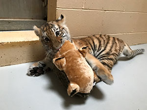 Our male tiger cub, Kashtan