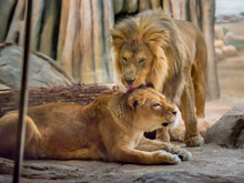 African lions Themba and Sanura