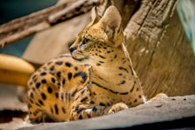 Zoo Welcomes Serval to Big Cats | Milwaukee County Zoo