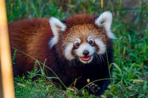 Red Panda, Dr. Lily